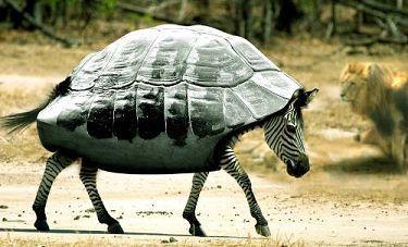 Фотоприкол зебра